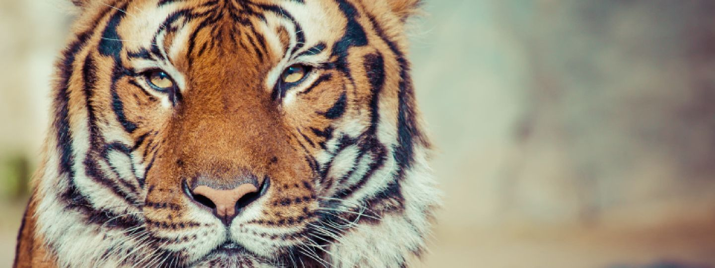 6 tips for tiger watching in india wanderlust