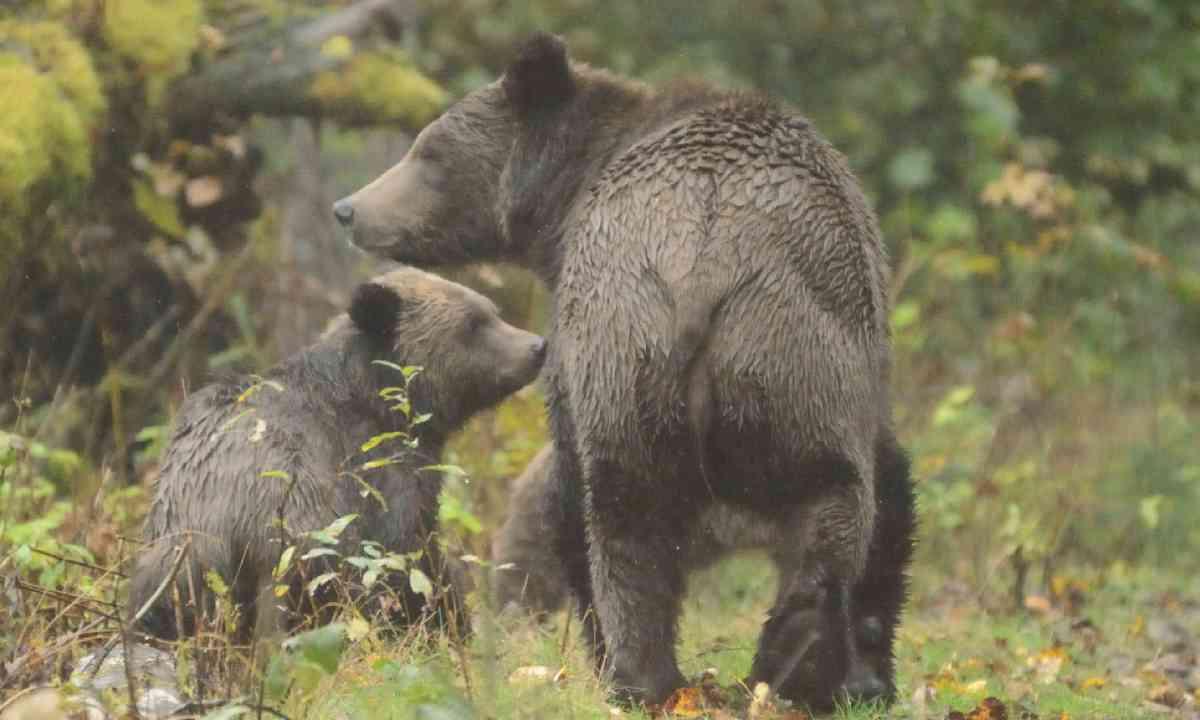 Grizzly bear (Shutterstock)