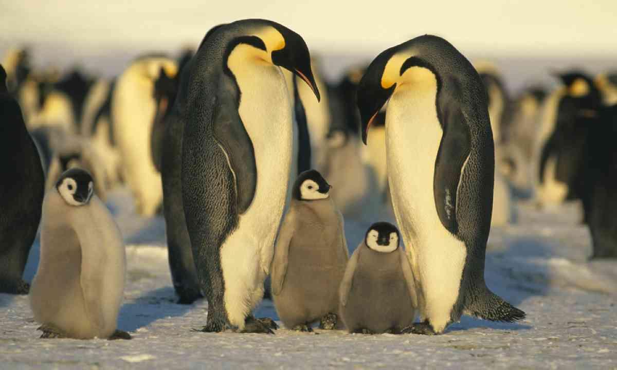 Emperor penguins with chicks (Shutterstock)