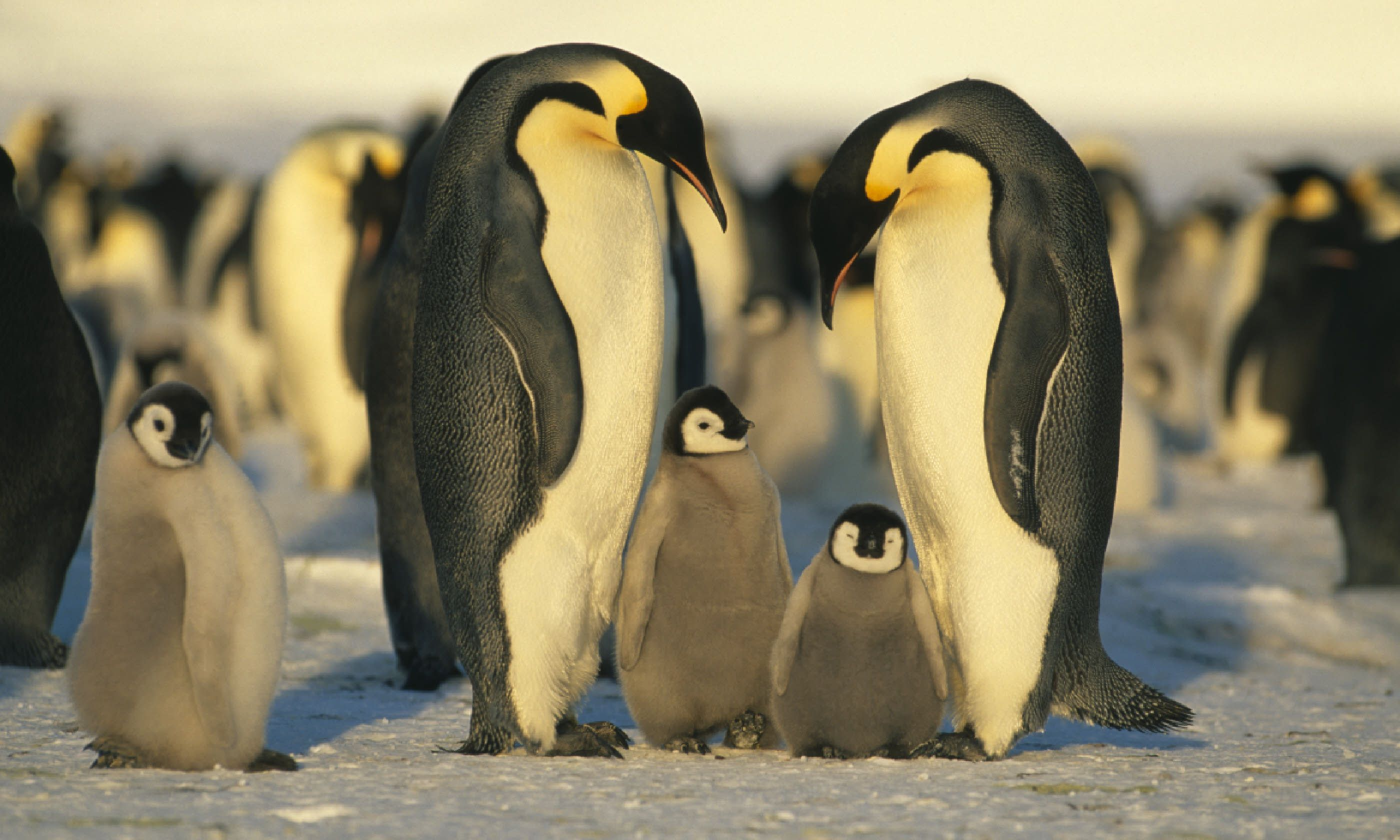 Emperor penguins with chicks (Shutterstock)
