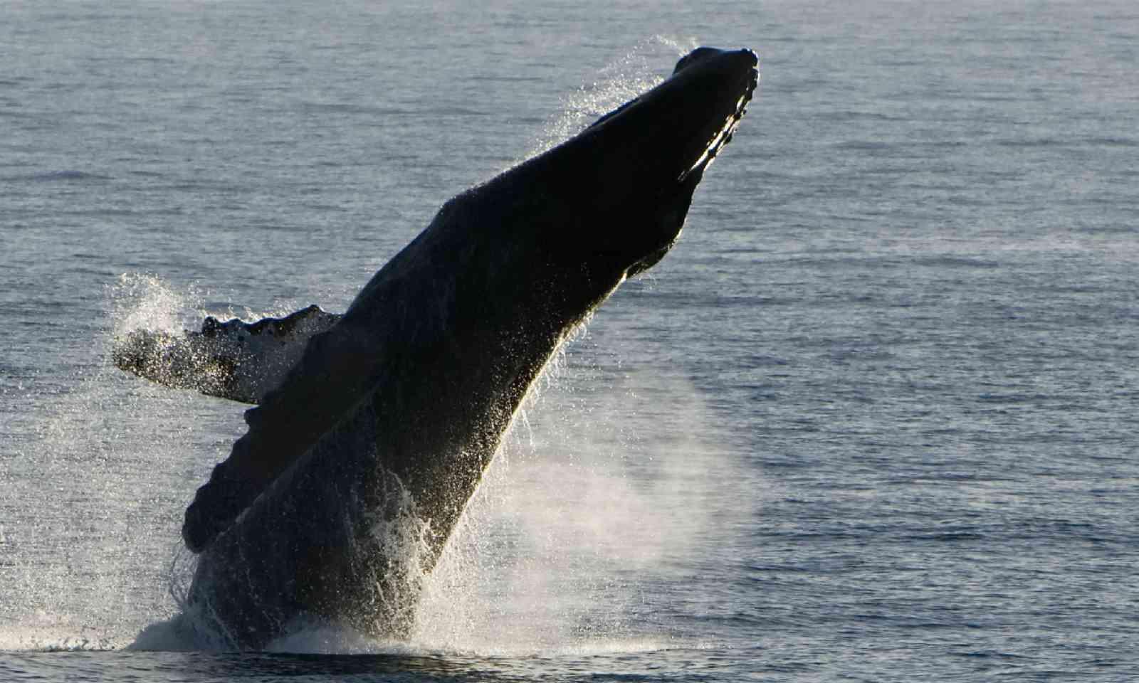 Humpback whale breach, Baja California (Shutterstock)