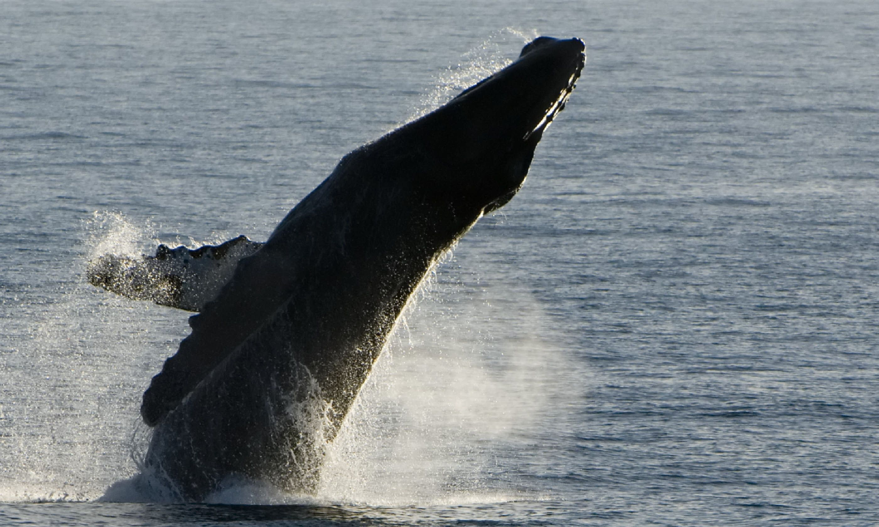 Humpback whale breach, Baja California (Shutterstock)