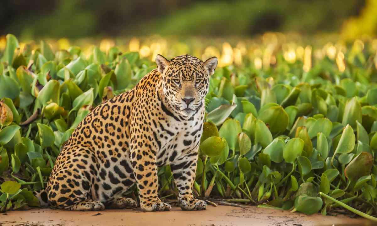 Jaguar in Brazil (Shutterstock)