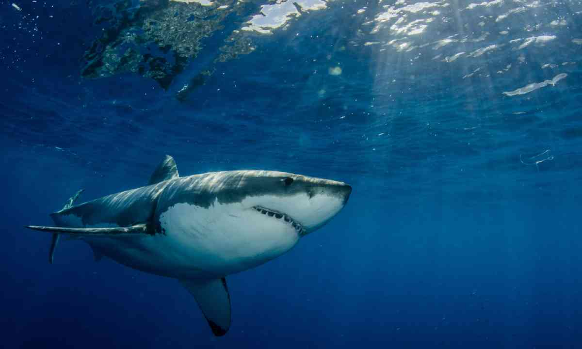 Great white shark off the Mexico coast (Shutterstock)