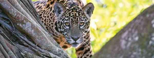 Jaguar in Brazil (Shutterstock: see credit below)