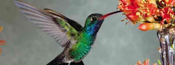 Hover with hummingbirds in Arizona (Mark Carwardine)