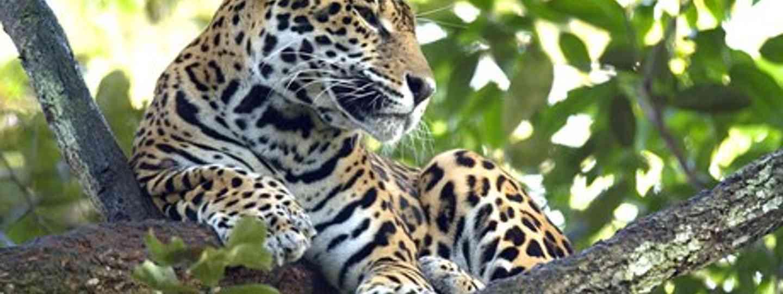 Discover the world's first Jaguar Rehabilitation Program