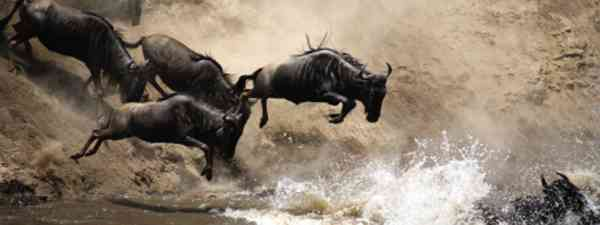 Stampedes usually disperse when they enter water (iStock)