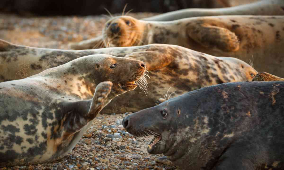Seals at Blakeney Point (Shutterstock)