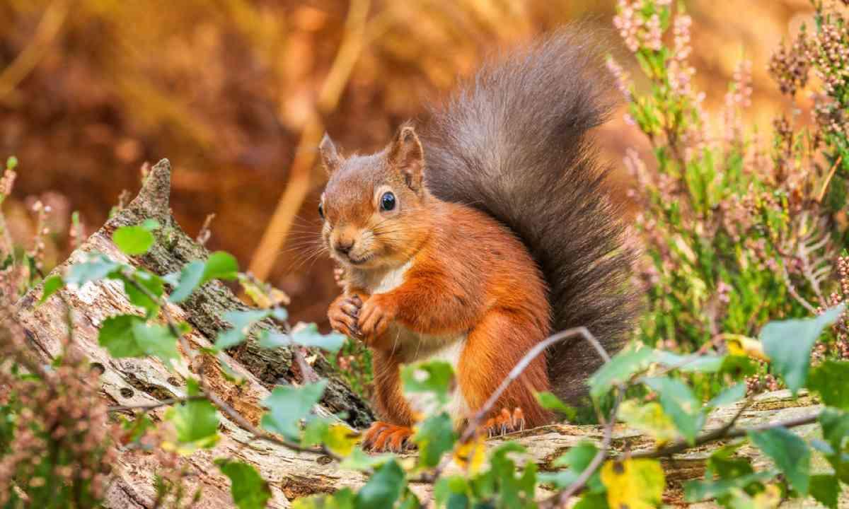 Red squirrel in Autumn (Shutterstock)