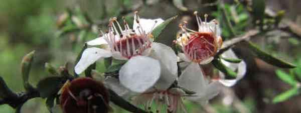 Manuka flowers (Helen Scarr)