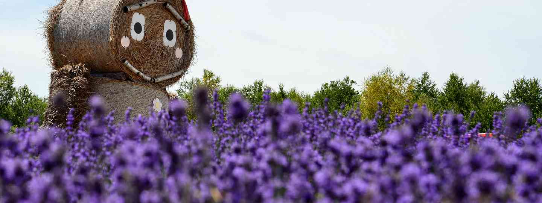 Strawman in Lavender Field, Japan. (Shutterstock.com. See credit below)
