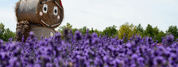 8 amazing lavender fields around the world   Wanderlust