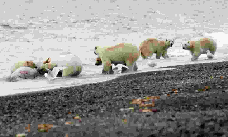 Bears on Wrangel Island (Flickr Creative Commons: International Fund for Animal Welfare Animal Rescue Blog)