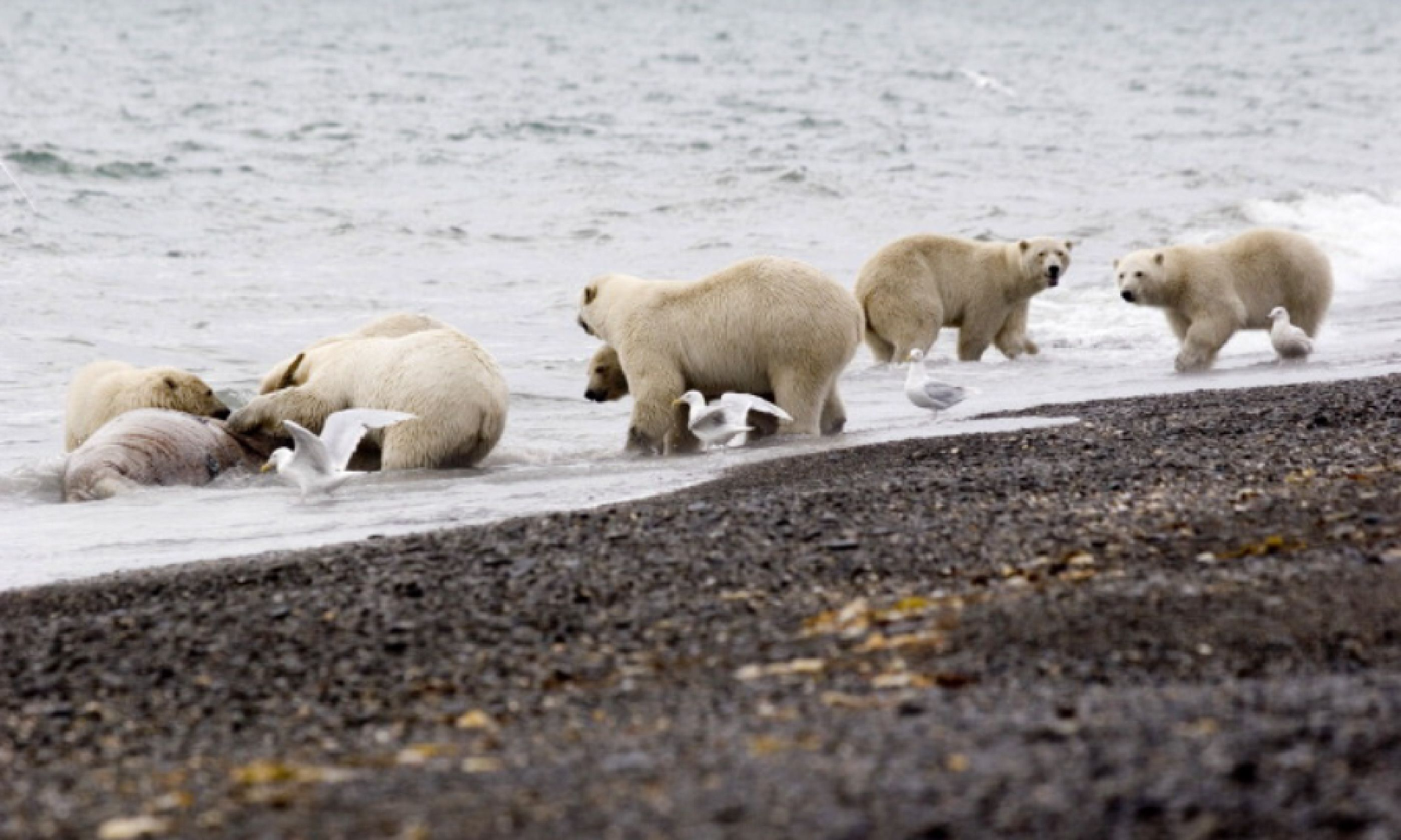 Bears on Wrangel Island (Flickr Creative Commons: International Fund for Animal Welfare Animal Rescue Blog)