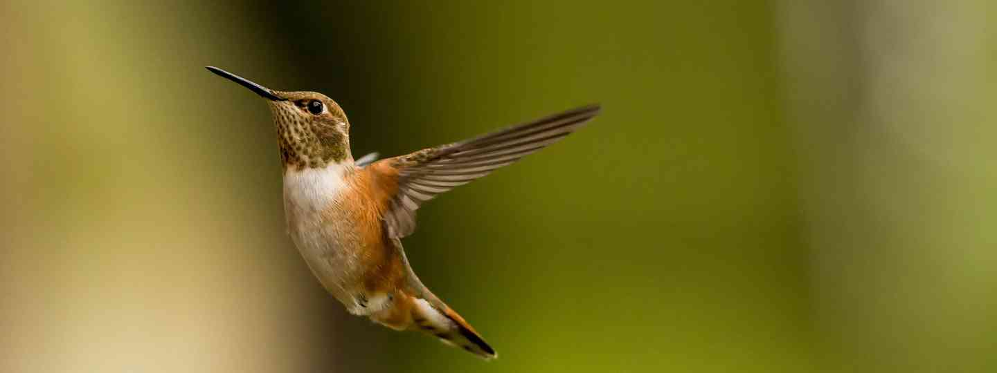 Rufous-breasted hermit, just one of the species on Tobago (dreamstime_l_38770138)