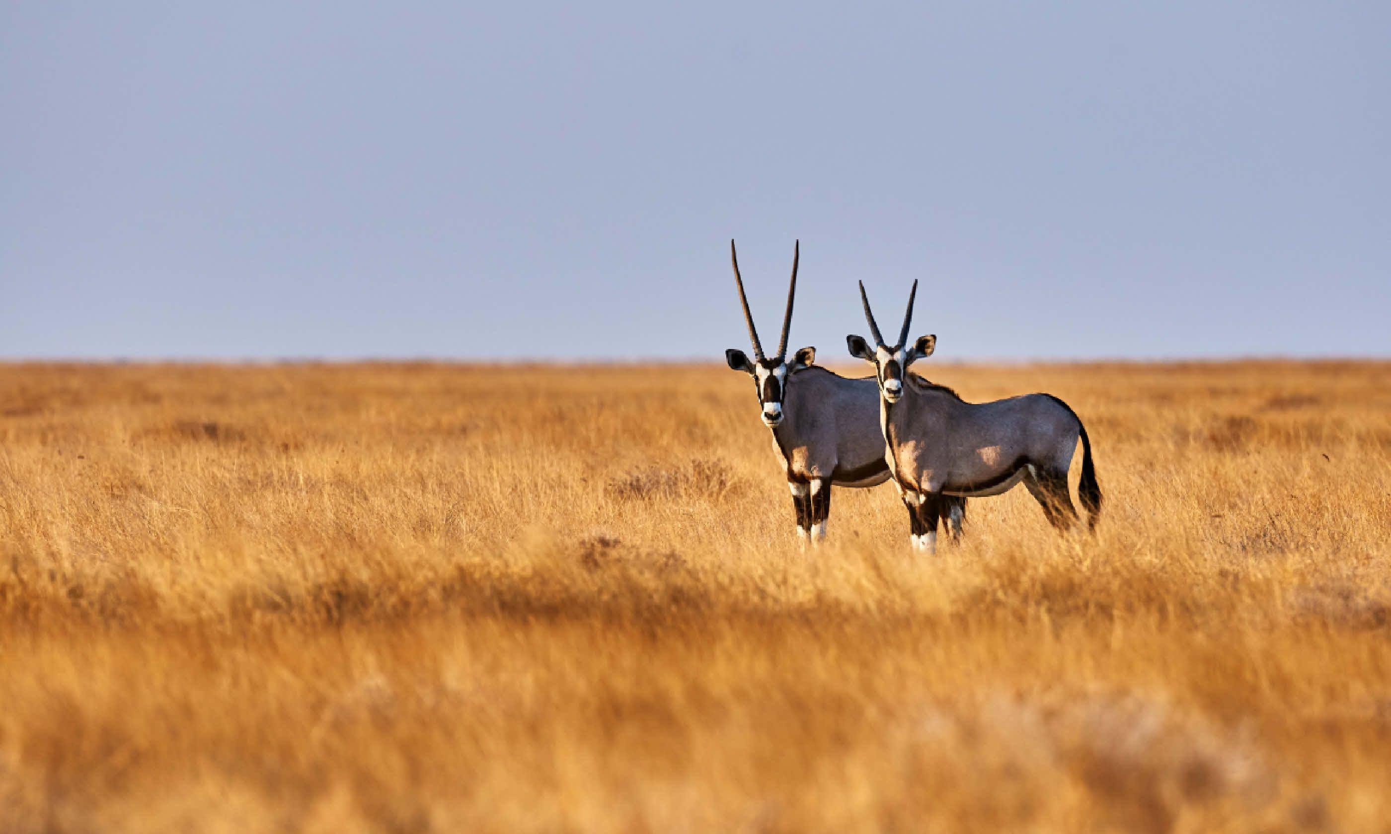 Oryx, Namibia (Shutterstock)