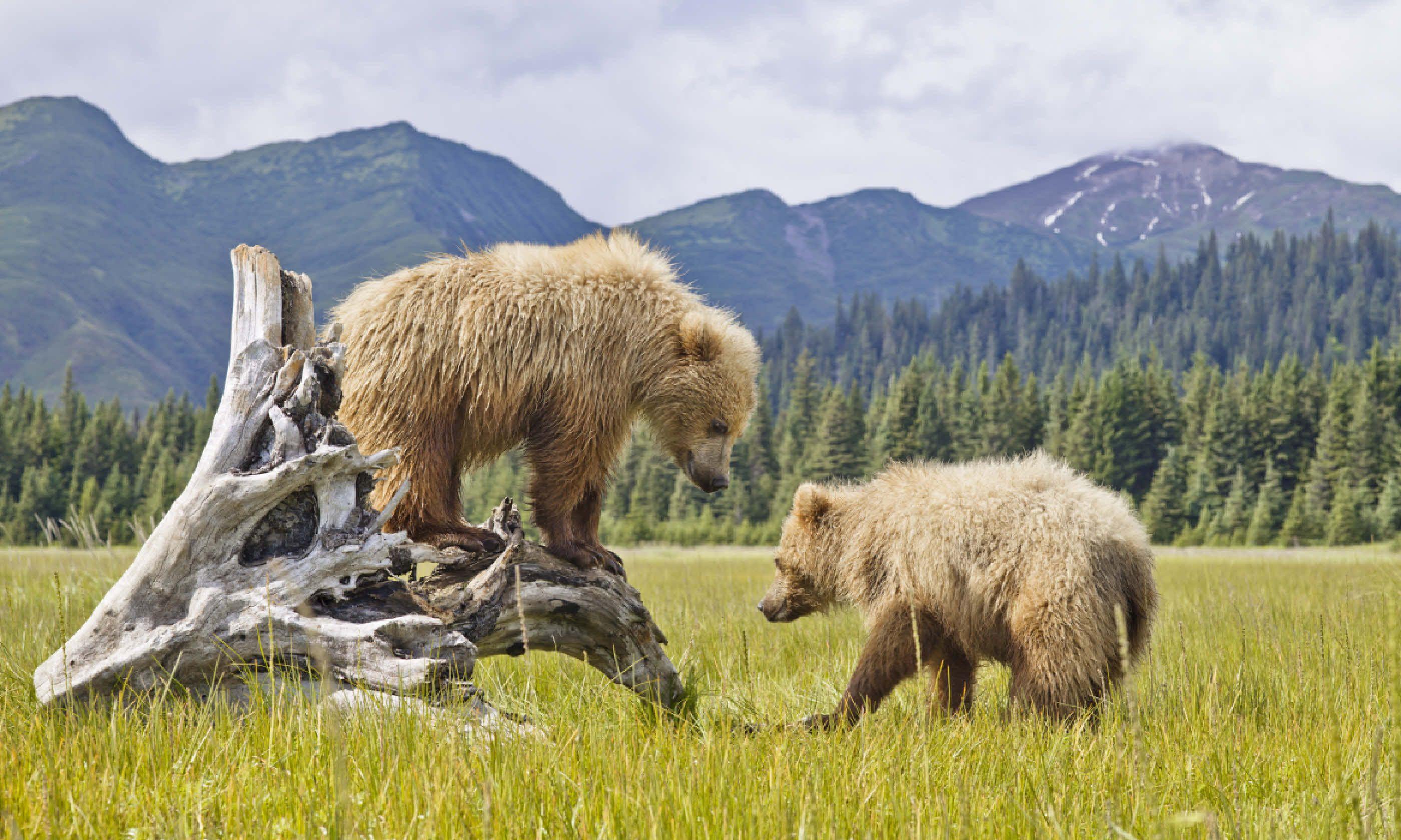 Bears in Alaska (Shutterstock)
