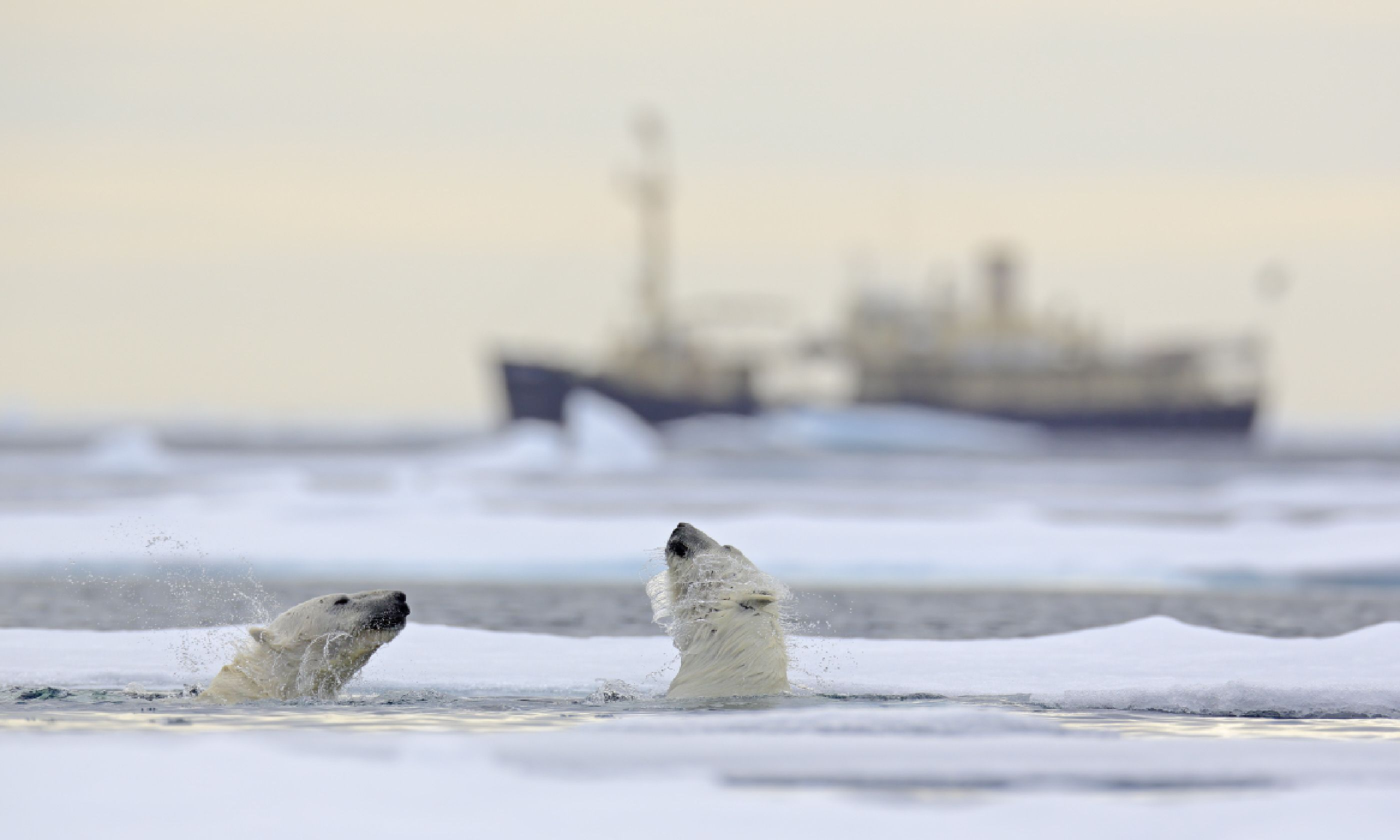Polar bears in Svalbard, Norway (Shutterstock)