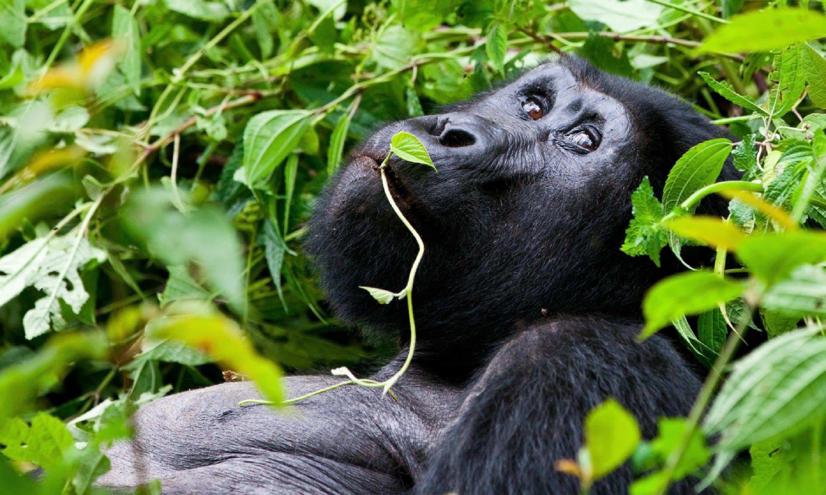 Silverback Mountain Gorilla, Uganda (Shutterstock)