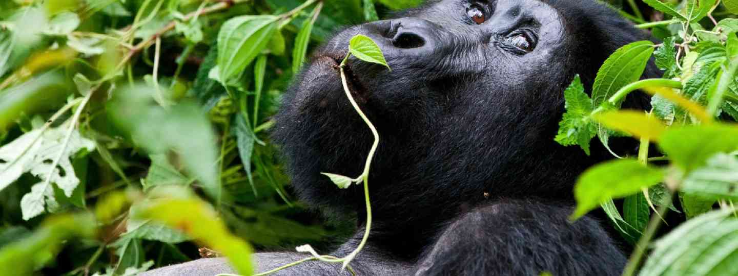 Mountain gorilla in Uganda (Shutterstock: see credit below)