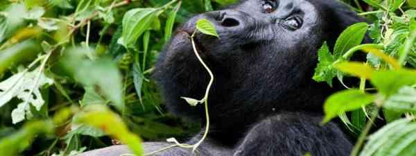 Mountain gorilla in Uganda (Shutterstock: see credit below)