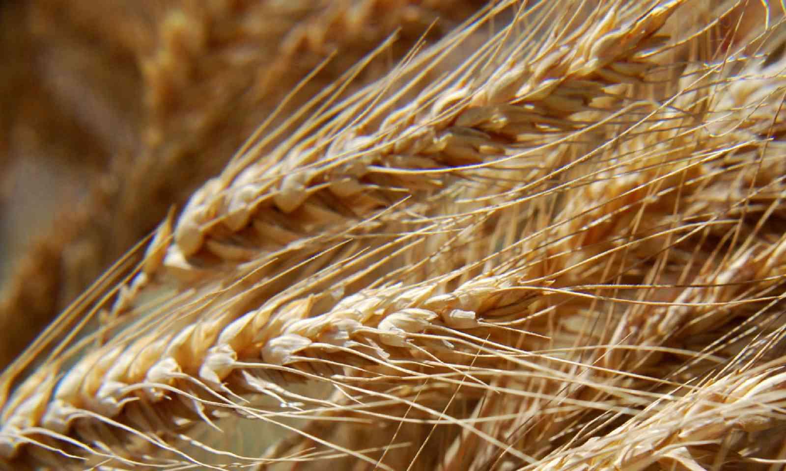 Wheat stalks – a treat for Danish animals on Christmas Eve (Shutterstock)