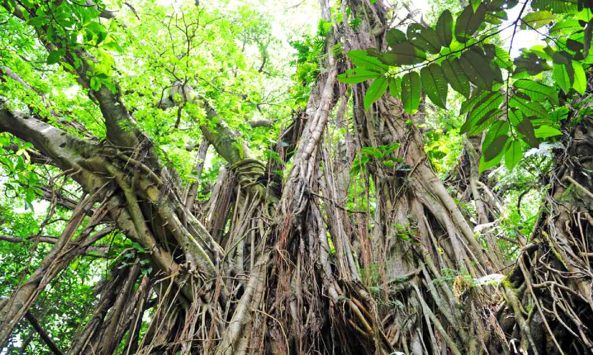 Banyan Tree, Tanna, Vanuatu (Shutterstock)