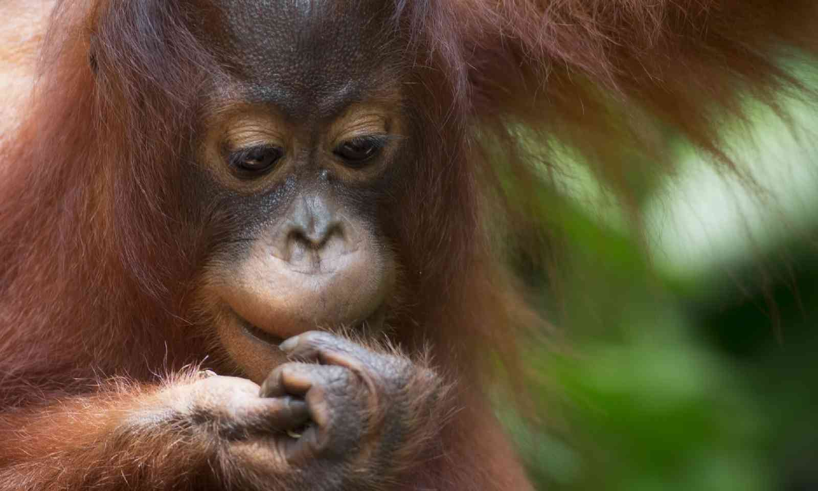 Orang-utan in the jungle of Borneo (Shutterstock)