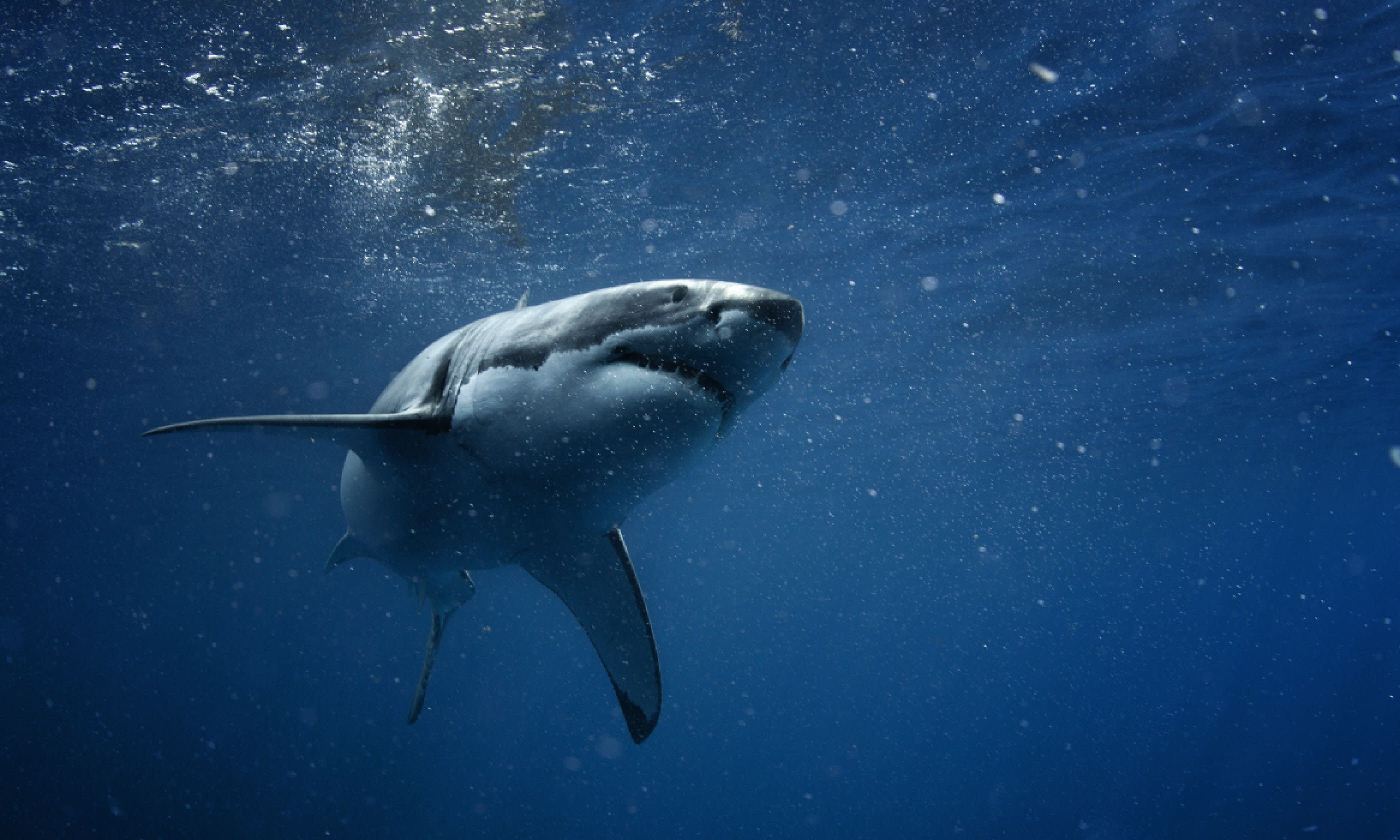 Great white shark (Shutterstock)
