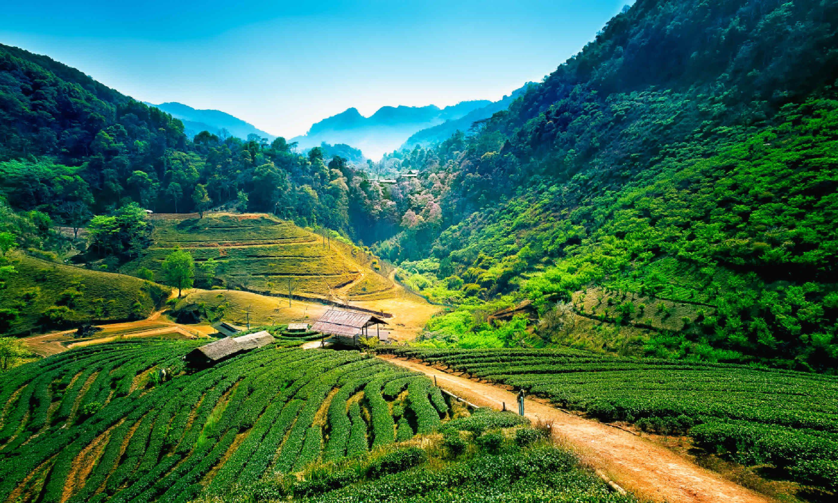 Tea plantations, Chiang Mai (Shutterstock)