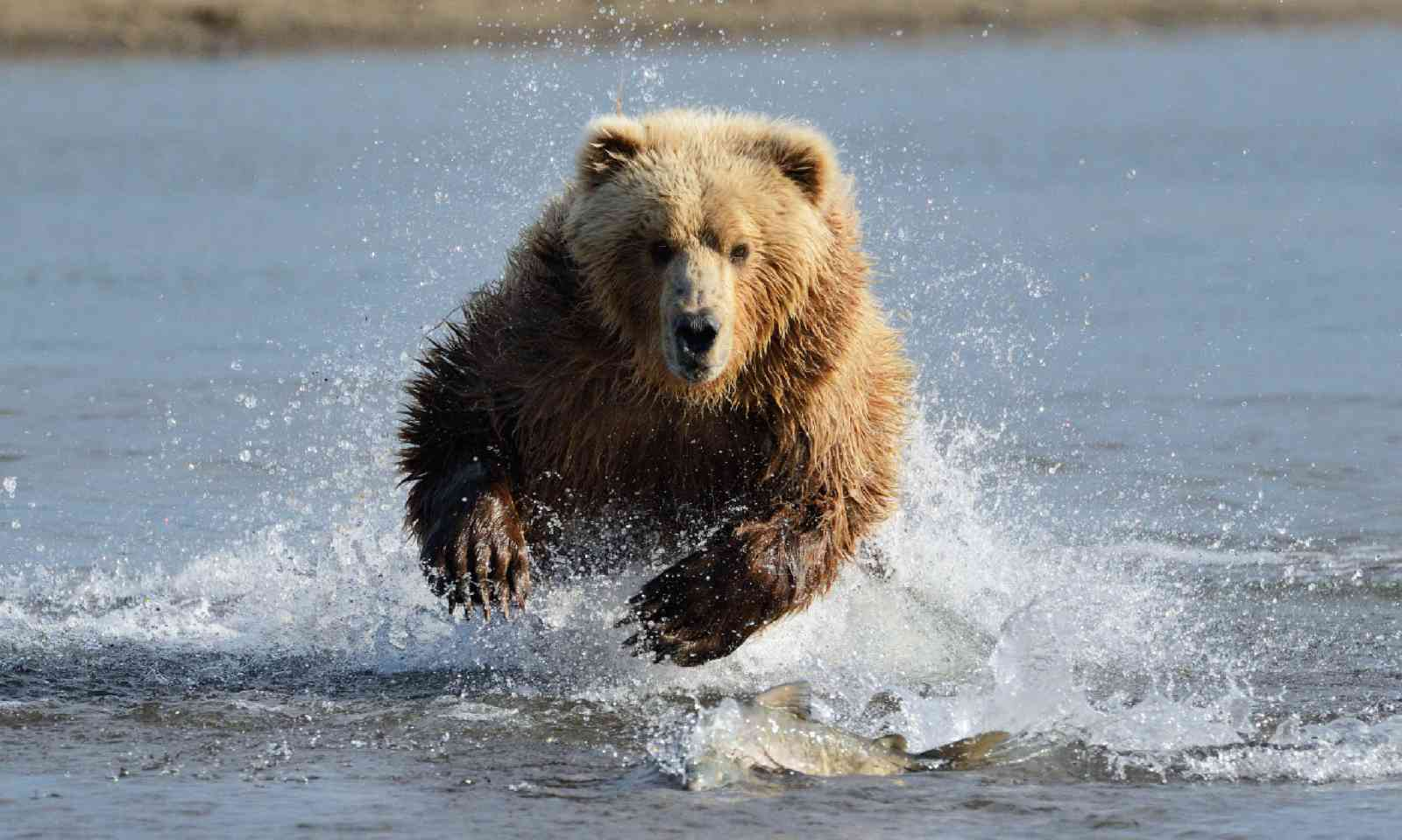 Grizzly bear jumping at fish (Shutterstock)
