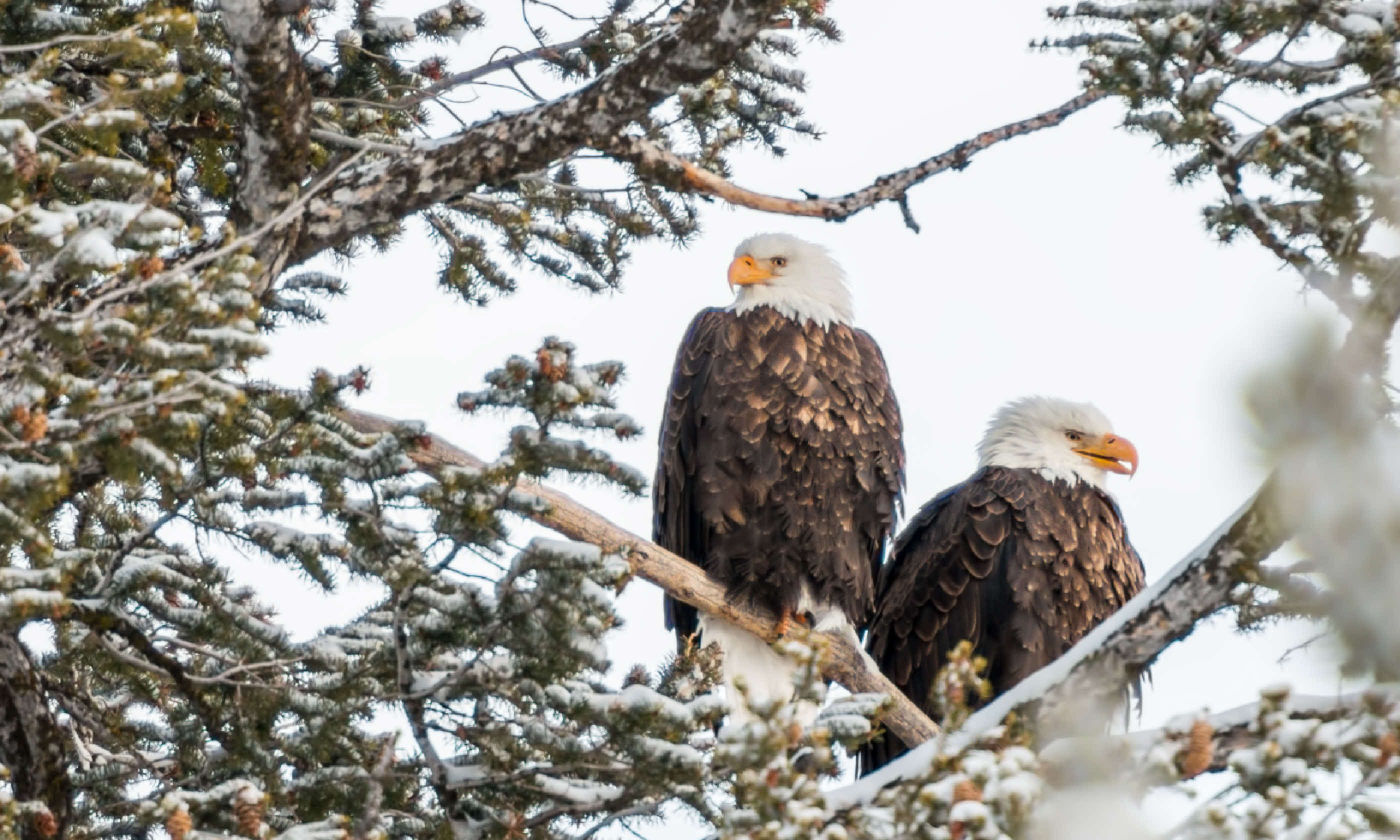 American bald eagles, Yellowstone (Shutterstock)