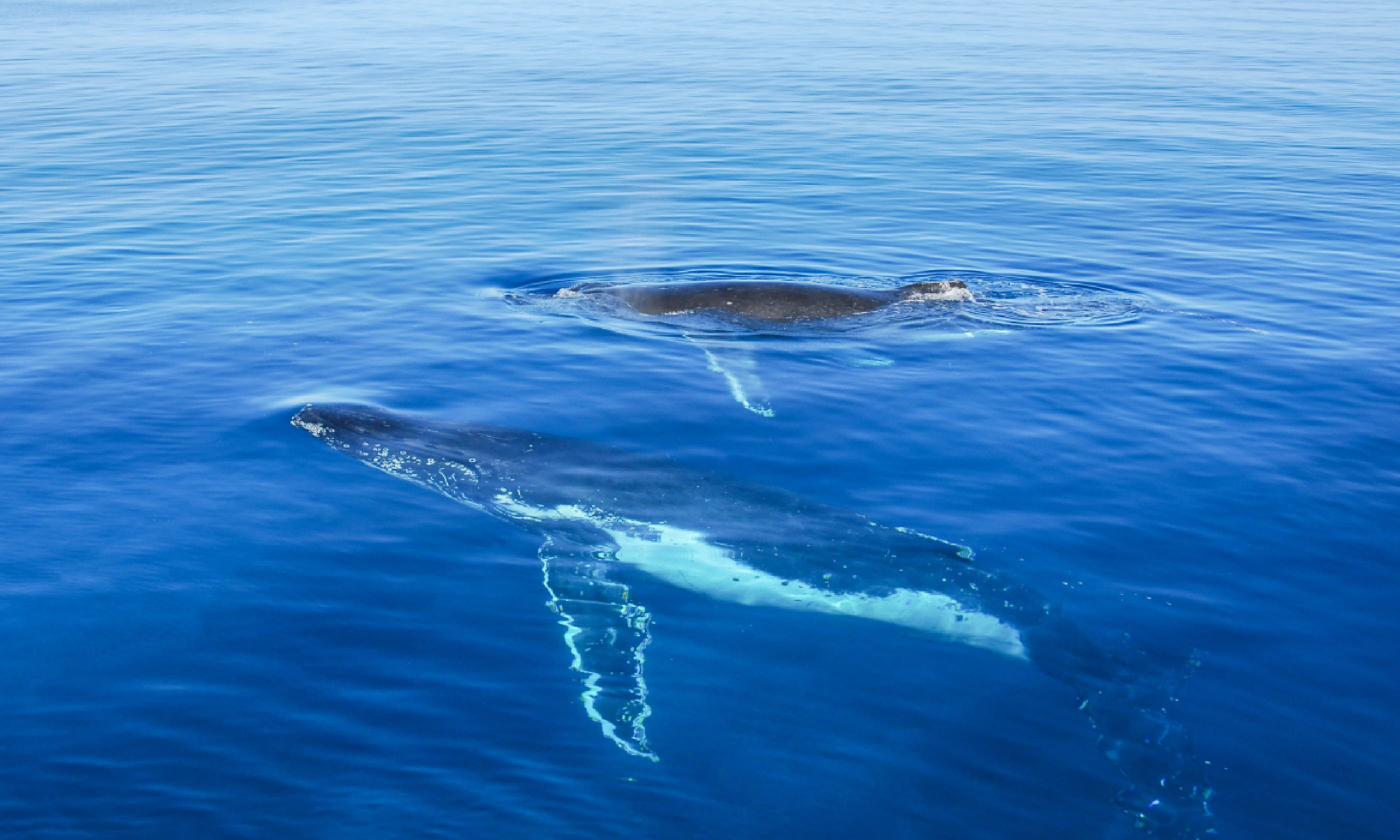 Humpback Whales in Queensland (Shutterstock)