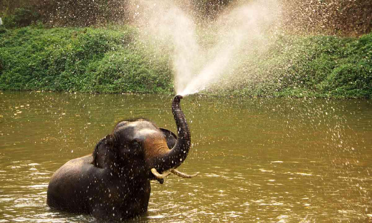 Thai elephant taking a bath (Shutterstock)