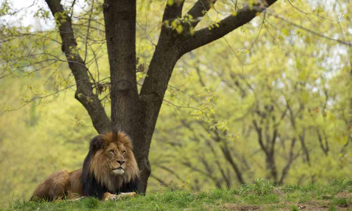 Male lion, Gir Forest (Shutterstock)