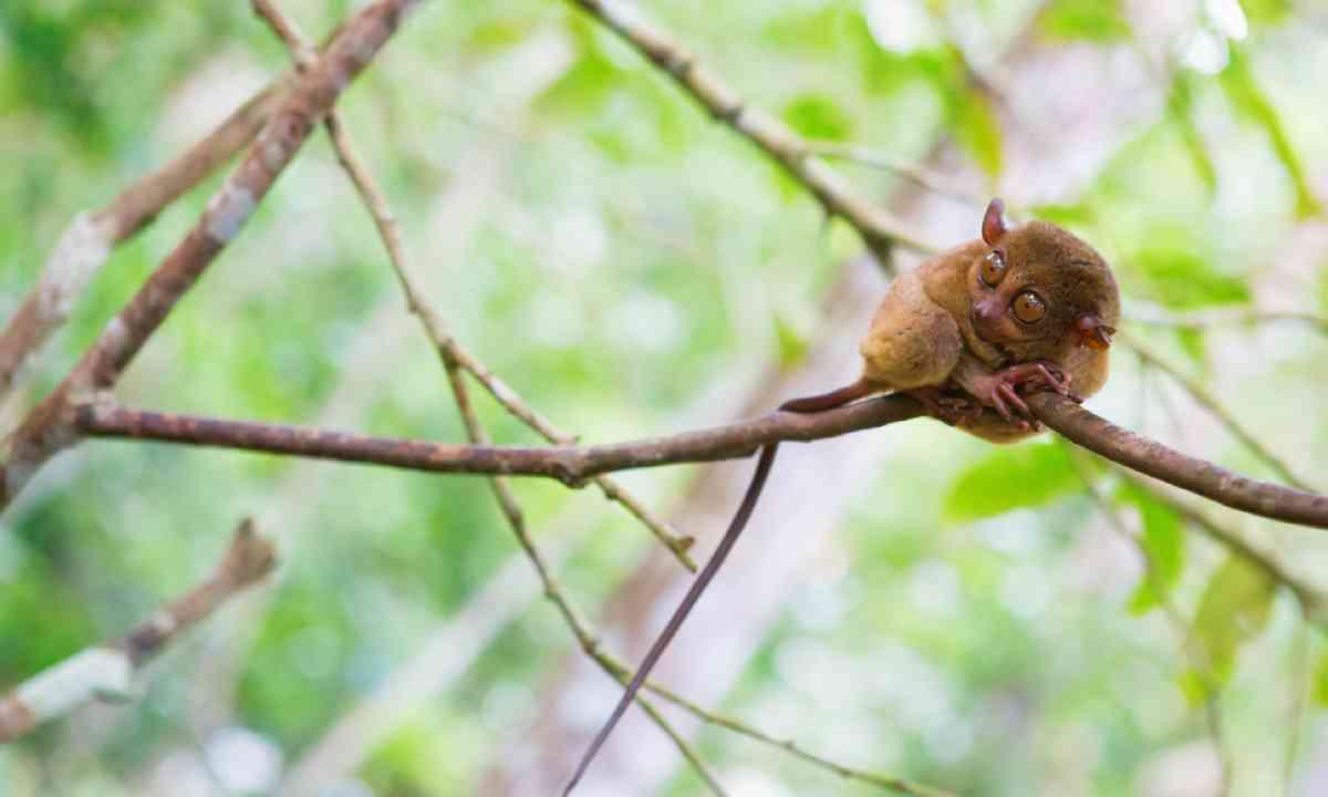 Philippine tarsier (Shutterstock)