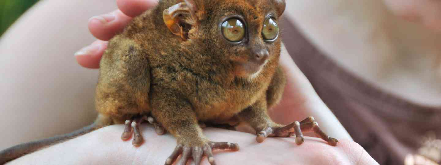 Tarsier - smallest primate in the world (Shutterstock: see credit below)
