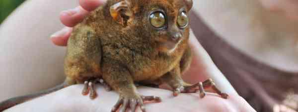 Tarsier - smallest primate in the world (Shutterstock: see credit below)