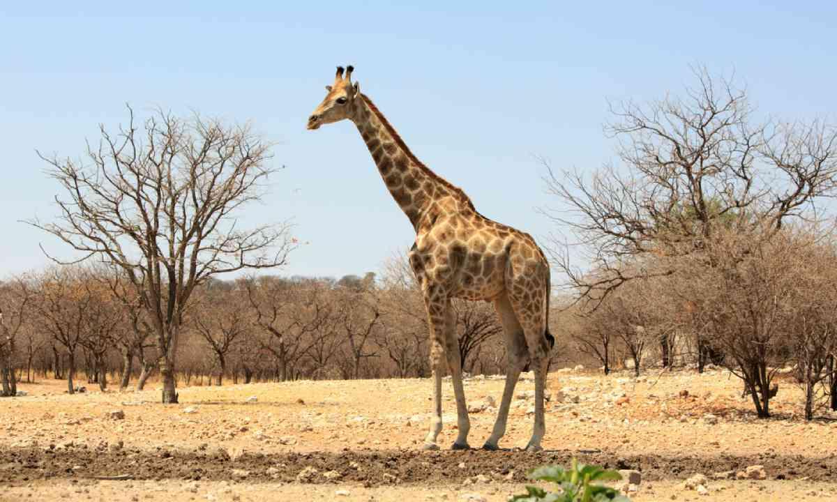 Giraffe in Namibia (Shutterstock)