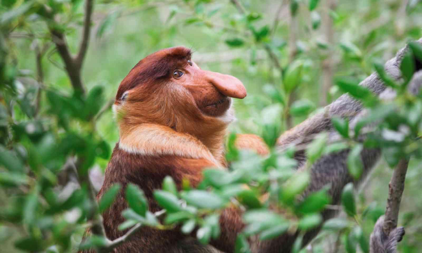Proboscis monkey (Shutterstock)