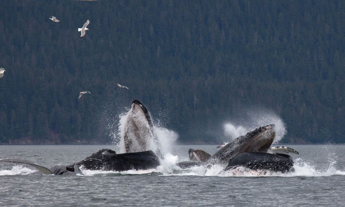 Pod of humpback whales, Alaska (Shutterstock)