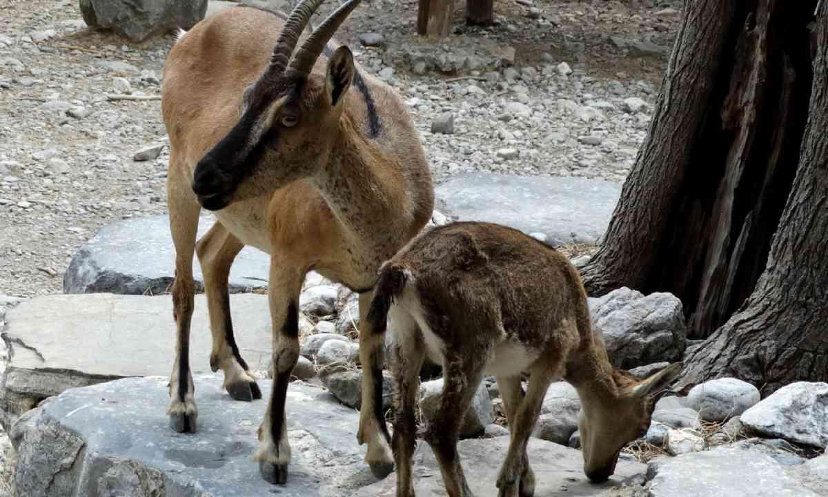 Kri kri (Photo: Samaria National Park Management Body)