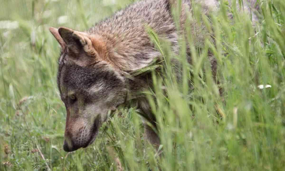 Wolf (Photo: K.Tsakalidis)