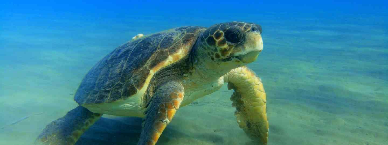 Sea turtle in Greece (Photo: Constatinos Vatikiotis)