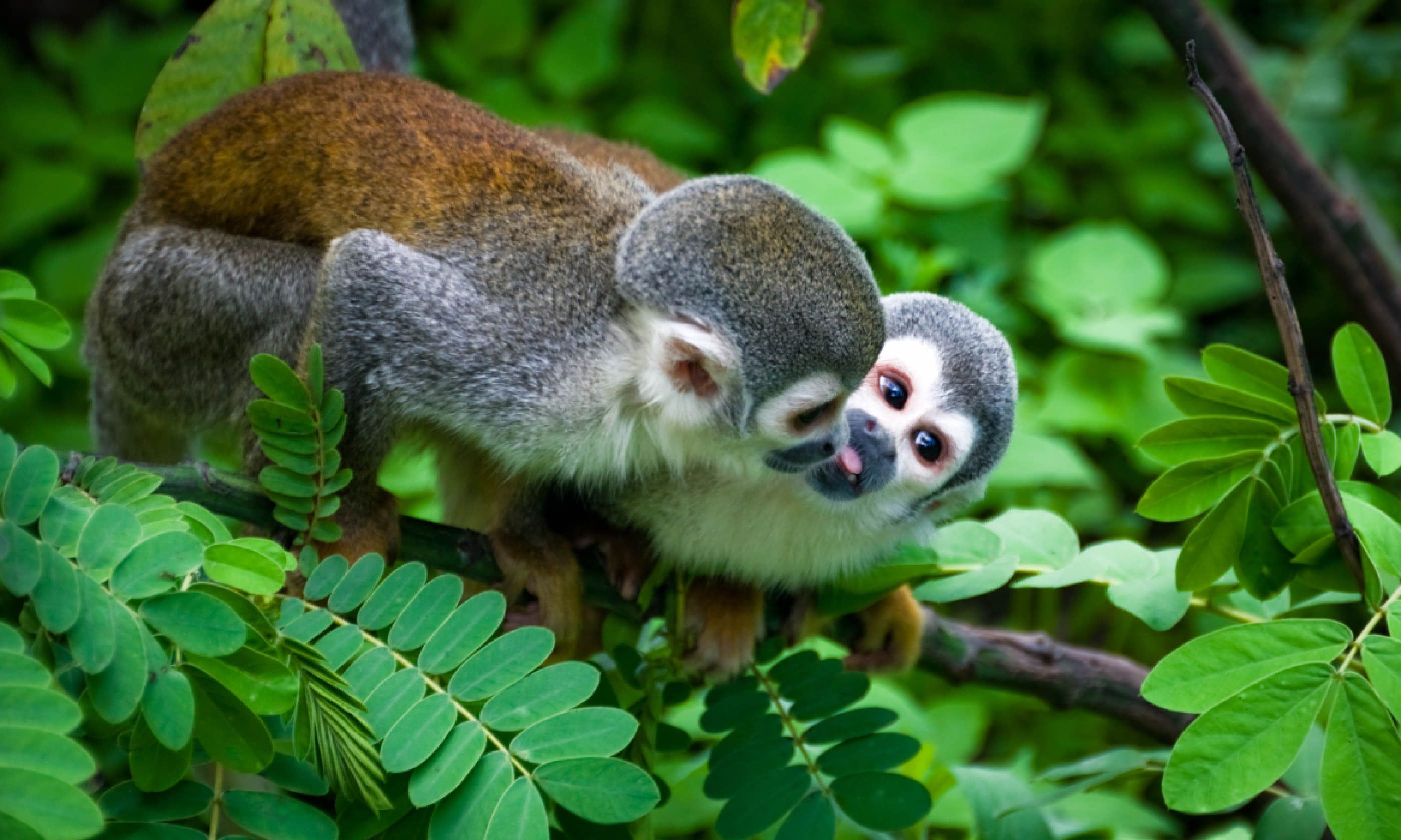 Squirrel Monkey in the Amazon (Shutterstock)