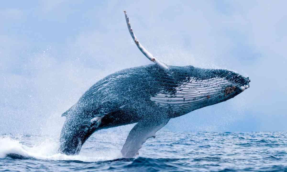 Humpback whale breaching at Puerto Lopez, Ecuador (Shutterstock)