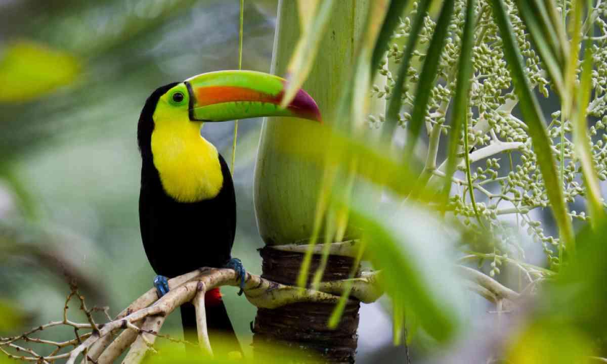 Toucan in Belize (Shutterstock)