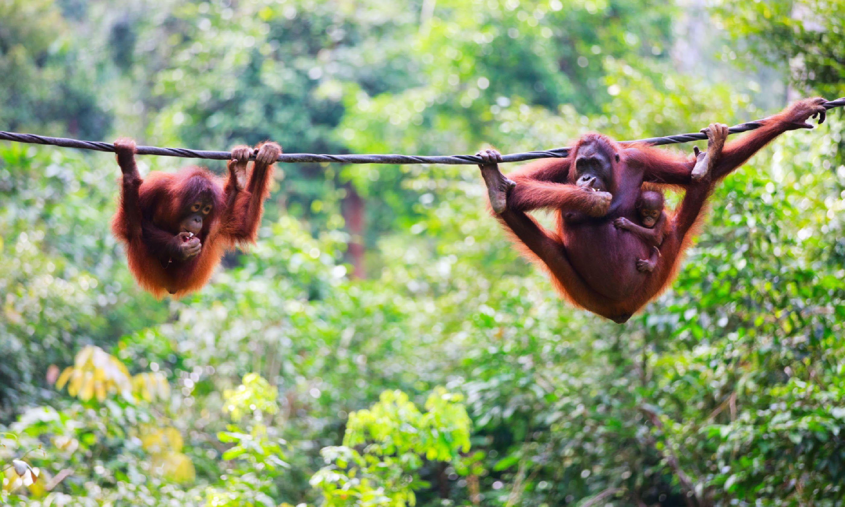 Orang-utans in Borneo (Shutterstock)