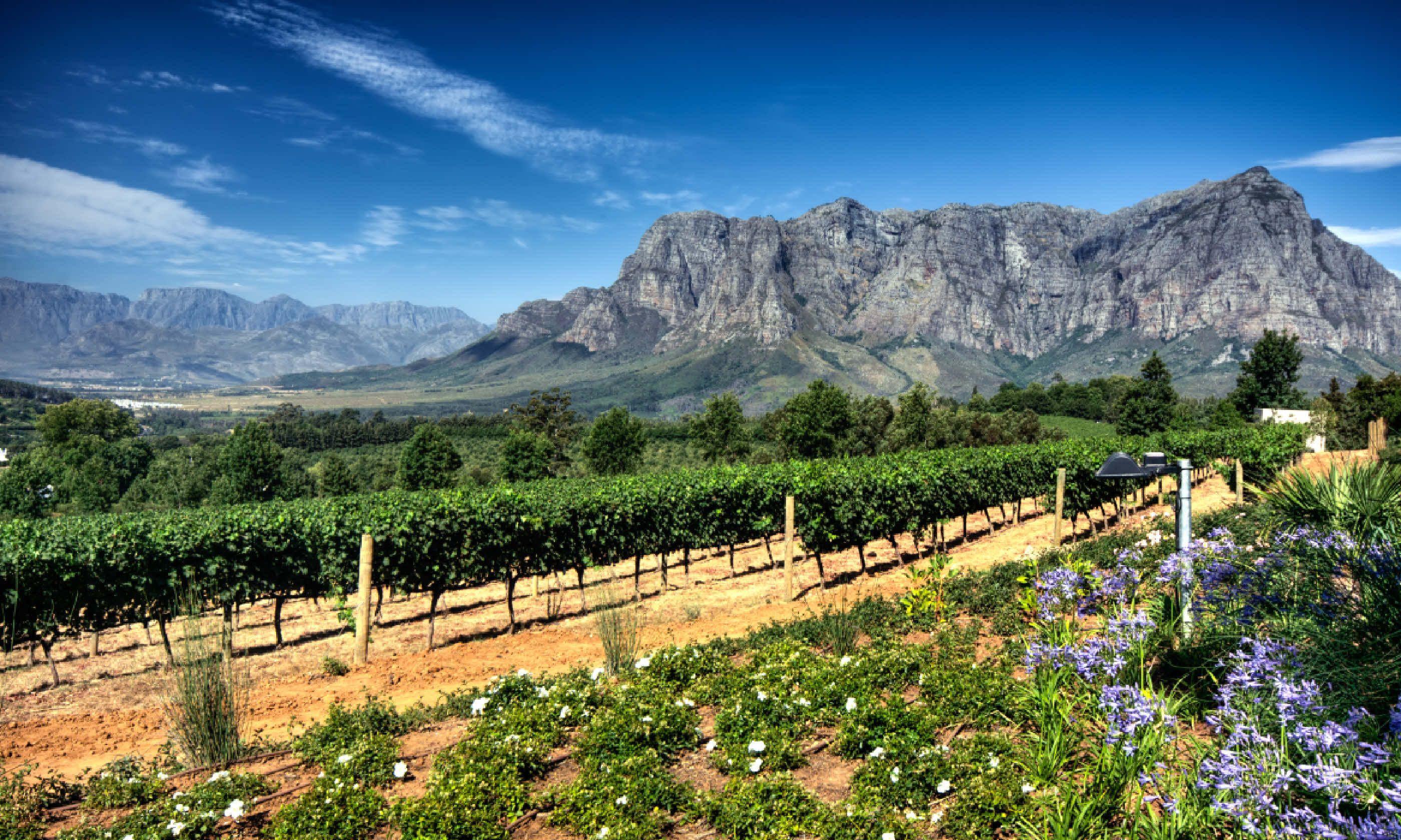 Stellenbosch vineyards with Simonsberg mountain (Shutterstock)